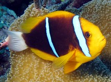 Orangefin Anemonefish - Amphiprion chrysopterus