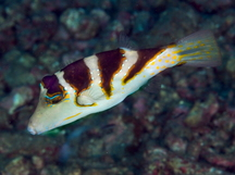 Pacific Crown Toby - Canthigaster axiologus