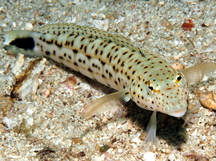 Speckled Sandperch - Parapercis hexophtalma