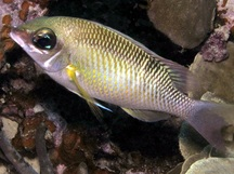 Pearly Monocle Bream - Scolopsis margaritifera