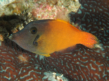 Blackheaded Filefish - Pervagor melanocephalus