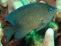 Blue-Eye Damselfish - Plectroglyphidodon johnstonianus