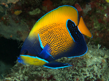 Bluegirdled Angelfish - Pomacanthus navarchus