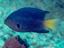 Imitator Damselfish - Pomacentrus imitator