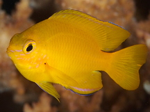 Lemon Damselfish - Pomacentrus moluccensis