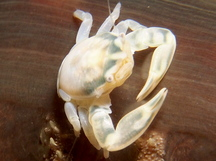 Three-Lobed Porcelain Crab - Porcellanella triloba