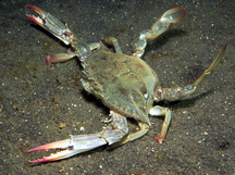 Blue Swimming Crab - Portunus pelagicus