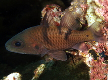Three-Spot Cardinalfish - Pristicon trimaculatus