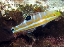 Puddingwife - Halichoeres radiatus