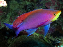Purple Anthias - Pseudanthias tuka