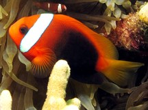 Red And Black Anemonefish - Amphiprion melanopus