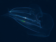 Red-Spot Comb Jelly - Eurhamphaea vexilligera
