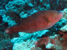 Regal Parrotfish - Scarus dubius