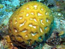 Rough Star Coral - Isophyllastrea rigida