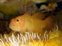 Rusty Goby - Priolepis hipoliti
