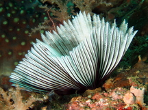 Common Feather Duster Worm - Sabellastarte sanctijosephi