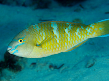 Blue-Barred Parrotfish - Scarus ghobban