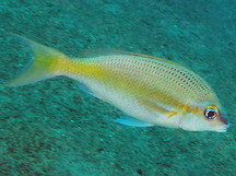Pale Monocle Bream - Scolopsis affinis