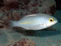 Whitestreak Monocle Bream - Scolopsis ciliata
