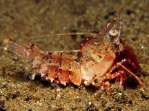 Japanese Rock Shrimp - Sicyonia japonica