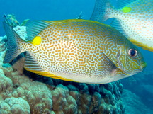 Golden Rabbitfish - Siganus guttatus