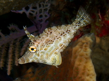 Slender Filefish - Monacanthus tuckeri