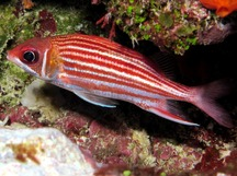 Smallmouth Squirrelfish - Sargocentron microstoma