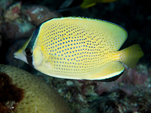 Speckled Butterflyfish - Chaetodon citrinellus