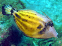 Spectacled Filefish - Cantherhines fronticinctus