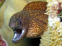 Stout Moray Eel - Gymnothorax eurostus