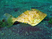 Strapweed Filefish - Pseudomonacanthus macrurus