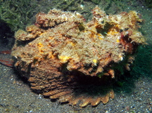 Estuarine Stonefish - Synanceia horrida