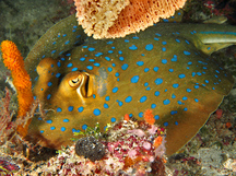 Bluespotted Ribbontail Ray - Taeniura lymma