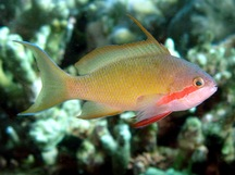 Threadfin Anthias - Pseudanthias huchtii