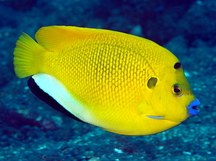 Threespot Angelfish - Apolemichthys trimaculatus