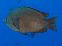 Threespot Chromis - Chromis verater