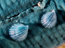 Crystalline Sea Star Snail - Thyca crystallina