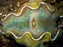 Smooth Giant Clam - Tridacna derasa