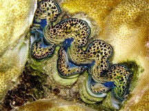 Flutted Giant Clam - Tridacna squamosa