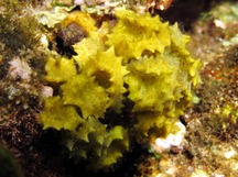 Ornate Seaweed - Turbinaria ornata