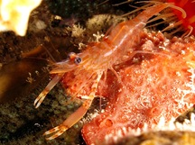 Two Claw Shrimp - Brachycarpus biunguiculatus