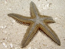 Two-Spined Sea Star - Astropecten duplicatus