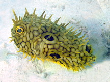 Web Burrfish - Chilomycterus antillarum