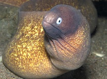 White-Eyed Moray Eel - Gymnothorax thyrsoideus