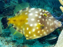 Whitespotted Filefish - Cantherhines macrocerus