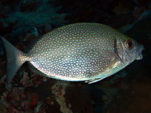 Whitespotted Rabbitfish - Siganus canaliculatus