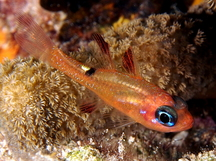 Whitestar Cardinalfish - Apogon lachneri
