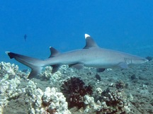 Whitetip Reef Shark - Triaenodon obesus