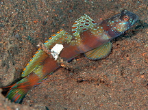 Wide-barred Shrimpgody - Amblyeleotris latifasciata