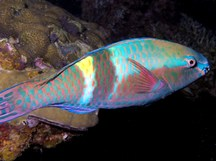 Yellowbar Parrotfish - Scarus schlegeli